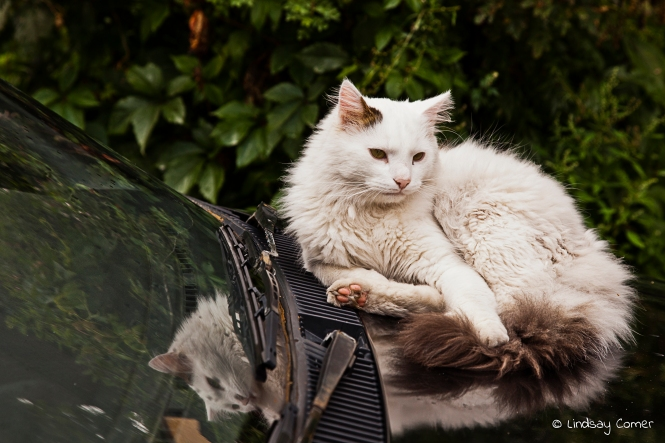 Bohemian Kitty relaxing on a vehicle in Uzupio; Vilnius, Lithuania.