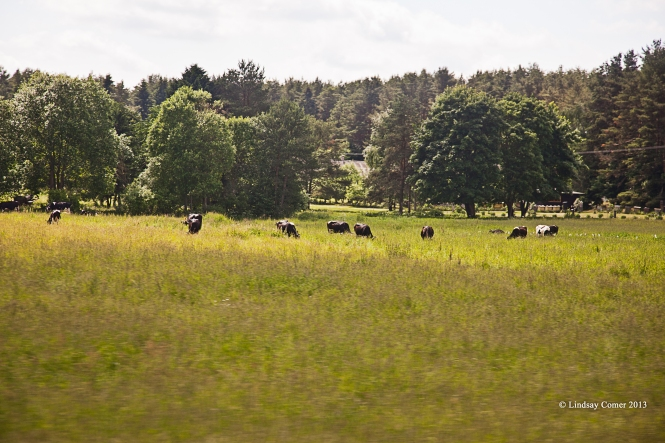 cows grazing in a field; Ida-Viru county.