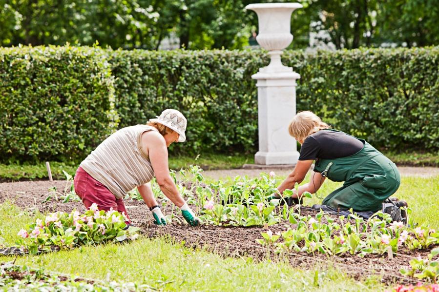 two women tending the flower beds in Peterhof park.
